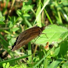 fekete szemeslepke /Dryad (debreczeniemoke) Tags: summer male butterfly insect meadow dryad insecta nymphalidae nyr rovar lepke rt dryade minoisdryas hm canonpowershotsx20is grandngredesbois tarkalepkeflk feketeszemeslepke