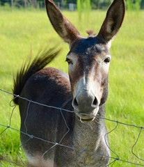 A  young jack (I'magrandma) Tags: male jack donkey sevenmonthsold