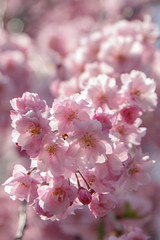 Cherry Blossoms in Hokkaido - Reaching out (^Lakshman^) Tags: park pink beautiful japan canon happy eos spring hokkaido pretty  bloom   sakura cherryblossoms  tamron hakodate  hanami haru    goryokaku lakshman  50d   mankai  canoneos50d 18270mm tamron18270mmf3563diiivc lakshmanphotography