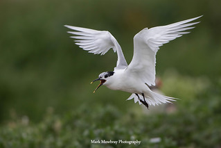 Sandwich tern on inner farne