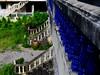 ,, Mama,  2nd Floor ,, (Jon in Thailand) Tags: blue dog green rain stairs nose nikon barrel courtyard mama jungle handrail nikkor rainbarrel k9 pickets nosecone d300 2ndfloor 175528 thelittledoglaughed littledoglaughedstories thedogpalace abandonabusedstreetdogs