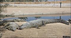 Crocoloco-IZE-044 (Zachi Evenor) Tags: zachievenor israel crocoloco crocolocofarm crocodilefarm crocodiliansfarm crocodile nilecrocodile crocodylusniloticus crocodylus niloticus crocodilia crocodilians haarava riftvalley צחיאבנור ישראל קרוקולוקו חוותקרוקולוקו חוותתנינים חוותתנינאים תניןהיאור תנין היאור תנינים קרוקודיל קרוקודילים תנינאים הערבה 2017 hatzeva 20170221