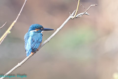Small Blue Kingfisher (Nanimuroor) Tags: canon 80d muroor nature karnataka birds birdsofmuroor kingfisher smallbluekingfisher
