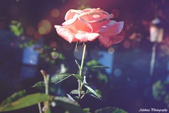 Pintoresca y colorida rosa. (... Alicia H. Tórtoles) Tags: rose rosa pink blue green purple lilac photography photoshop edition nikon3100 nikon nikonpic flowers bokeh macro macrophotography macrofotografía flor