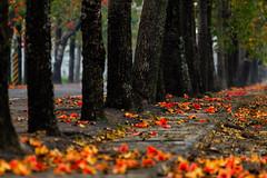 崙頂木棉花 (hosihane) Tags: 台灣 台南市新市區 木棉花 落葉 花 英雄 路 步道 樹幹