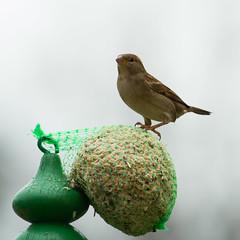Passera. Female Sparrow. (omar.flumignan) Tags: passera femalesparrow casadellecincie houseoftits bird uccelli canon eos 7d ef100400f4556lisusm ngc allnaturesparadise