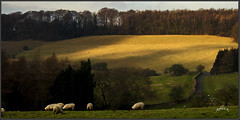 Shadows On The Hills. (Picture post.) Tags: landscape nature green winter shadows sheep woods fields drystone walls gate road paysage arbre trees sunlight
