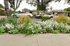 Walkway Flowers (SCSQ4) Tags: garden flowers springtime alyssum statice firestick succulent landscaping