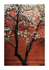 .... (di.diana) Tags: spring red white tree celebration