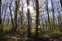 Spring in the woods (angelsgermain) Tags: wood trees beeches trunls roots leaves grass plants sky light sun spring fagedadenjordà garrotxa catalonia catalunya