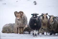 Can you hear the bells of love? (OR_U) Tags: 2017 oru norway lofoten sheep 4 four ram bells three animal winter snow ice erasure lookatme flock diversity