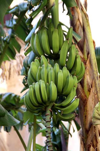 Palermo, San Domenico, Kreuzgang, Banane (cloister, banana)