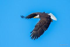 Eagle doing the pose.. (Earl Reinink) Tags: bird animal birdphotography nature naturephotography earl reininknikonniagararaptoreaglebald eagle icon adhaeaaaoa