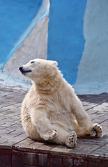 The small polar bear sits on a floor (♥Oxygen♥) Tags: bear polar dirty stone baby fun mammal north fat day fur walk antarctic background zoo wild little wildlife wet claw white paw zoology cute northern young arctic play animal pelage sing song talk cub hair kid child novosibirsk