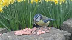 Blue Tit with a Deformed Beak (Karen Roe) Tags: burystedmunds suffolk town eastanglia england uk unitedkingdom gb greatbritain digital gopro hero4 silver video photograph photography image photo picture snap shot female photographer karenroe march 2017 day garden spring bird blue tit deformed beak