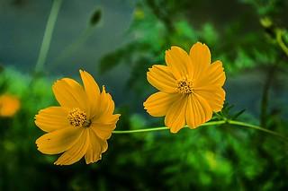 Flores gêmeas / Twin flowers
