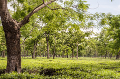 Assam_051 (SaurabhChatterjee) Tags: assam countryside guwahati httpsiaphotographyin india lakhimpur rural saurabhchatterjee siaphotography tea teagardens tezpur village