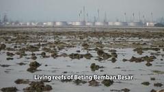 Living reefs of Beting Bemban Besar (wildsingapore) Tags: betingbembanbesar cnidaria alcyonacea shore island singapore marine coastal intertidal seashore marinelife nature wildlife underwater wildsingapore sclerectinia landscape