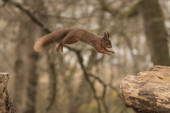 Red in Flight (Gary Hickson Photography L.R.P.S.) Tags: redsquirrel squirrel brownseaisland nationaltrust dorset wildlife wild england mammal animal wildanimal nikon d750 nikonuk nikoneurope sigma 150600mm sport