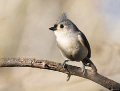 Tufted Titmouse (swmartz) Tags: outdoors wildlife birds titmouse nikon nature newjersey mercercounty march