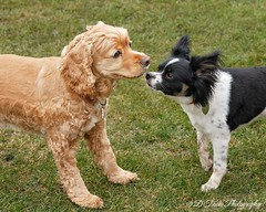 Lucky and Jasper (Denise Trocio (D Trocio Photography)) Tags: pets dogs americancockerspaniel papillon jasper lucky luckycharm outdoors friendship animals domesticatedanimals males boys playtime backyard