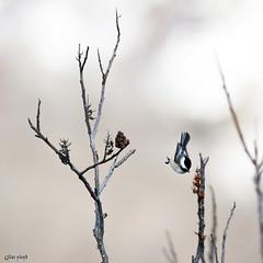 Chickadee and Sumac. (Gillian Floyd Photography) Tags: chickadee small bird sumac