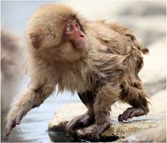 Japanese Macaque (Cornelis Bakker) Tags: japanesemacaque macaca fuscata