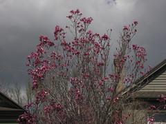 IMG_3530 (yellowstonehiker) Tags: dayhikes dayhike citycreekcanyon wasatchfront wasatchmountains citycreekcanyonmarch262017dayhike magnolia magnoliatree