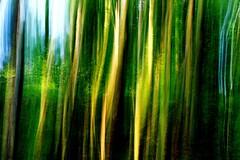 De grands murmures... (Sabine-Barras) Tags: forest forêt bambou bamboo blur flou vert green arbre tree réunion lignes lines