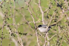 Black-tailed Gnatcatcher (gilamonster8) Tags: arizona tucson bokeh beyondbokeh blue green