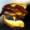 The end (JMVerco) Tags: square fleur flower fiore jaune flickrchallengegroup