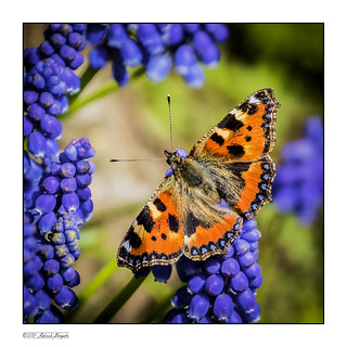 Small Tortoisehell butterfly on blue flower [Explored]