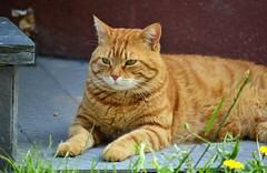 Zarpazos mi pequeño tigre pelirrojo ❤ (En memoria de Zarpazos, mi valiente y mimoso tigre) Tags: zarpazos gattuso gatopelirrojo dep cat gattoarancione ginger orangetabby gatofeliz gatolibre gattorosso gatoatigradonaranja