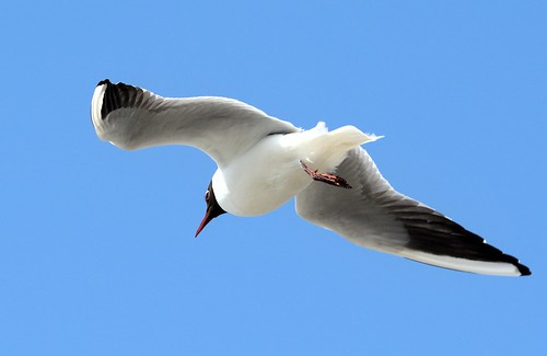 Blackheaded Gull_386