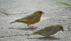 Mr & Mrs Greenfinch (Keith Nurney) Tags: greenfinch