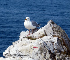 Presqu'le de Crozon . (Tinou61) Tags: sea france nature britain walk bretagne oiseau mouette finistre randonne ocan crozon