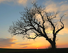 The Beauty of a Tree (Sandra Leidholdt) Tags: sunset tree branches arboles trees northumbria england uk gb greatbritain northumberland sandraleidholdt silhouette siluetas silhouettes tranquil peaceful tranquility unitedkingdom