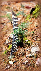 New and Old (gwynyfier) Tags: brown tree green pine moss flora vermont feather needles vt goddard earthwalk