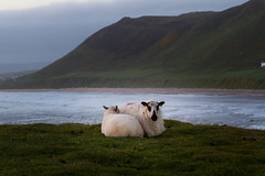 a pair of sunset sheep (Dean Ayres) Tags: wales unitedkingdom nationaltrust rhossili wormshead thegower nationaltrustworkingholiday