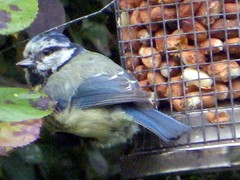 17th Jun 13 Blue Tit  at the peanuts (Cardedfolderol) Tags: birds bluetit gardenbirds