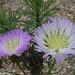 Centaurea chilensis