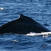 Whale Watching - Cabo San Lucas