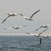 "Gannets in flight near Farne Islands • <a style=""font-size:0.8em;"" href=""https://www.flickr.com/photos/21540187@N07/9229312757/"" target=""_blank"">View on Flickr</a>"