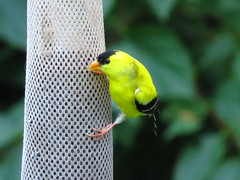 IMG_0941 American Goldfinch (John Pohl2011) Tags: plant bird canon john weed roadside pohl perching sx50hs canonsx50hs