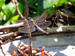 dragonfly (heremineted) Tags: nature finland dragonfly archipelago odonata