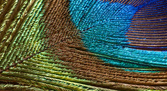 Peacock Feather Macro (Michael G Devereux) Tags: life blue ireland brown detail macro green bird eye nature feather peacock iridescent interference limerick plumage annacotty structuralcolour peacockfeathercloseup