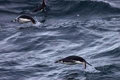 Jumping Chinstrap penguins (proefdier) Tags: ocean cruise bird birds penguin flickr antarctica atlantic pinguin vogel 2012 chinstrappenguin antarktis 50d pygoscelisantarctica vogel msbremen zugelpinguine