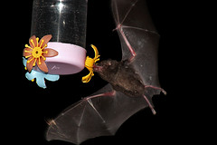 Morcego (Glossophaga soricina) visitando um bebedouro de aves na área urbana