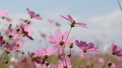 Autumn (coniferconifer) Tags: autumn sky flower japan cosmos