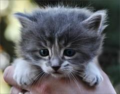Handful of Kitten (Stella Blu) Tags: rescue animal cat kitten thumbsup bigmomma nikkor18200 stellablu challengeyouwinner friendlychallenges thechallengefactory nikond5000 herowinner ultraherowinner storybookwinner